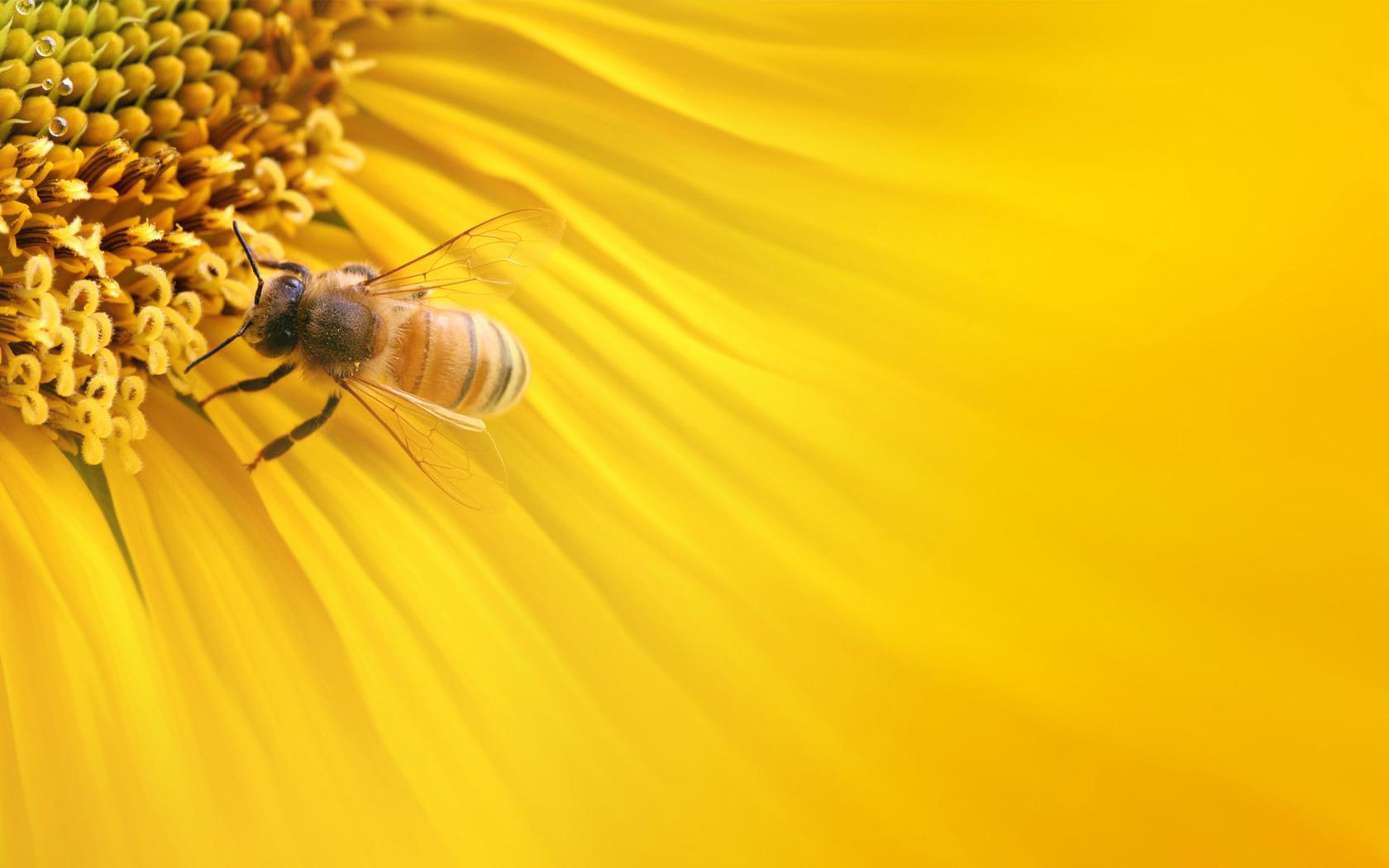 Bee on a sunflower wallpaper 6714 1680x1050