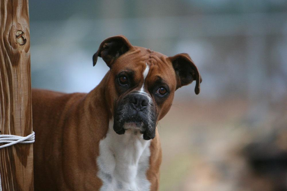 Cute Boxer Wallpaper Wallpapersafari