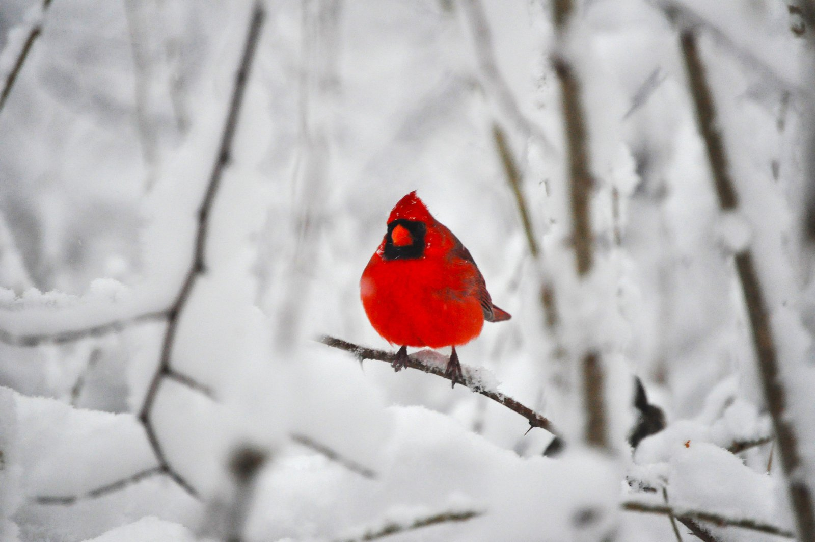 48 cardinals in the snow wallpaper on wallpapersafari - Pictures of cardinals in snow ...