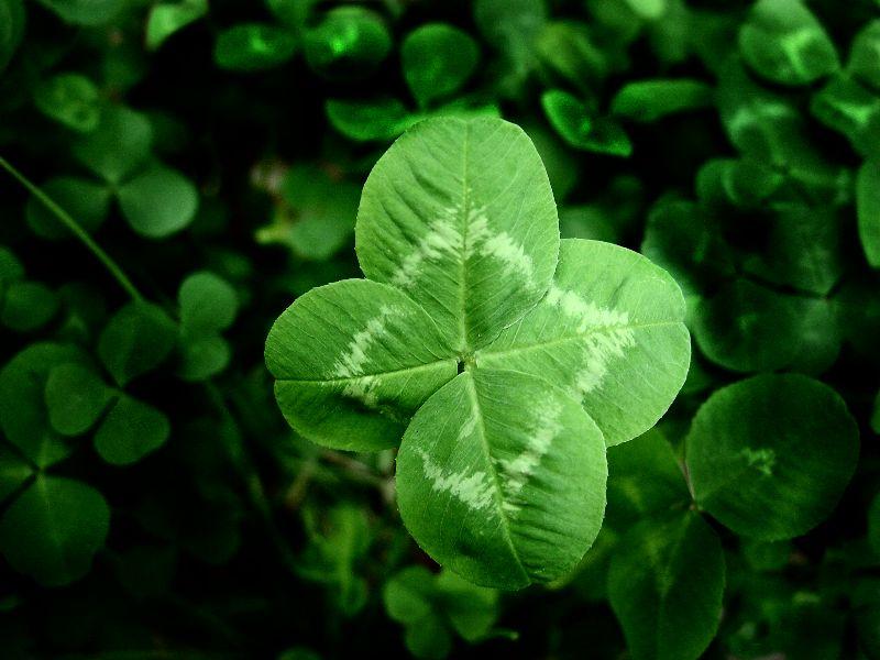 leaf clover 800x600