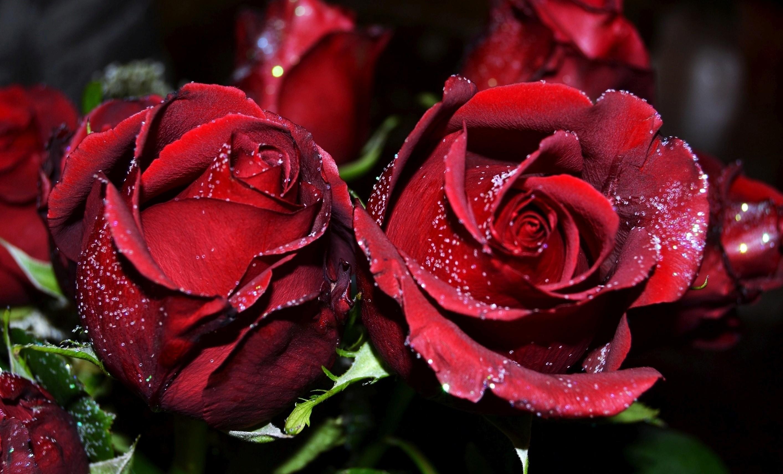 Red Rose Flowers Wallpaper Flower Download Hd   Rose Flower 2827x1711
