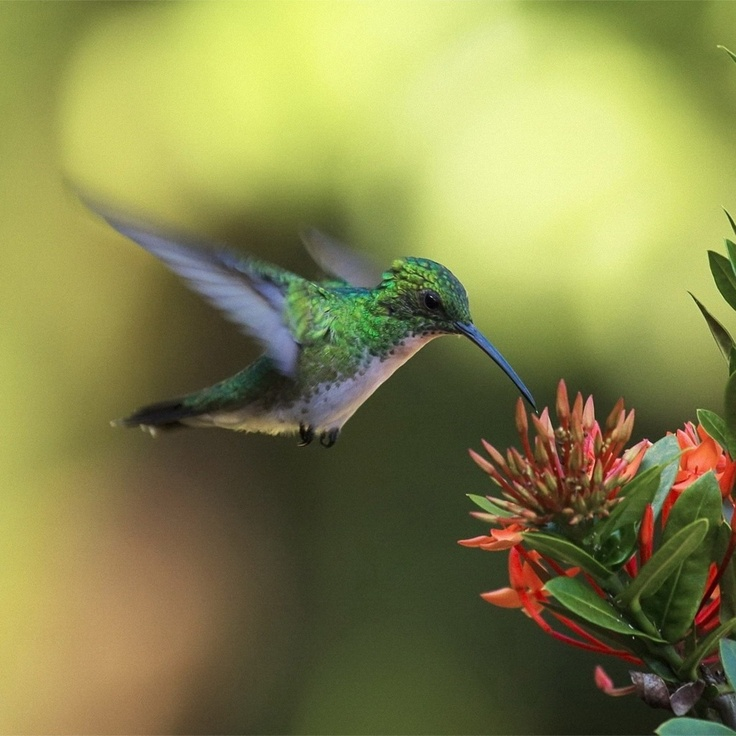 Amazing Hummingbird Wallpaper Screensavers Pinterest 736x736