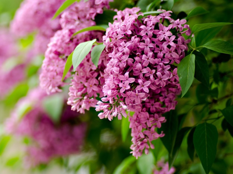 Lilac Flowers Spring 800x600
