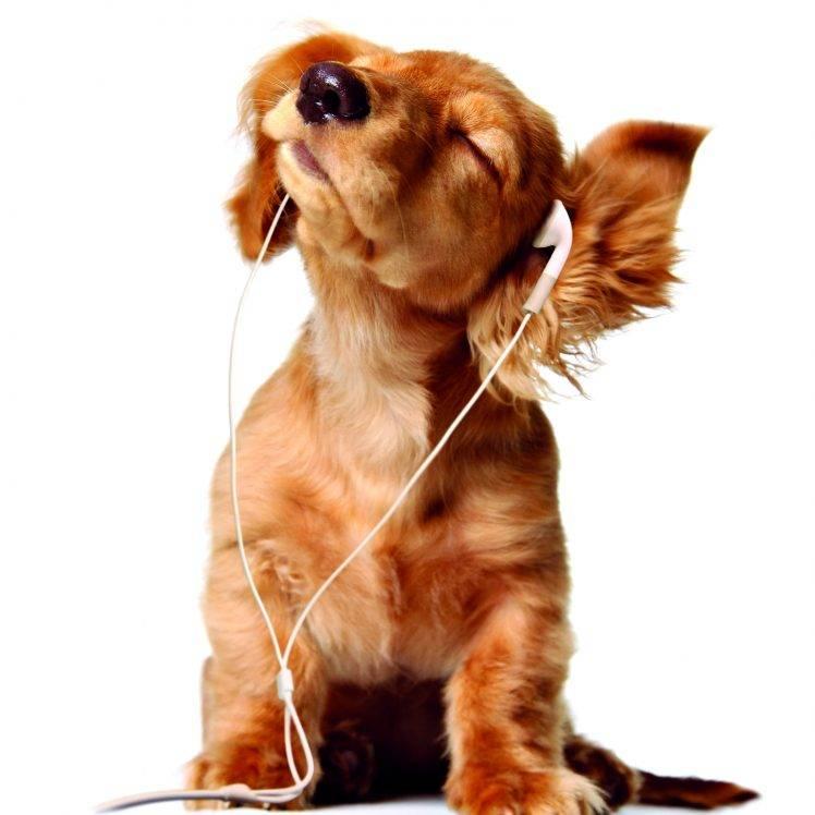 Music Dog Hd Wallpaper Desktop Background   Dog Listening To Music 748x748