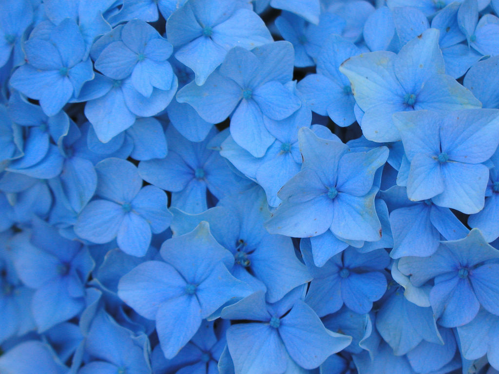 Flowers Wallpapers Blue Flowers Wallpapers 1024x768