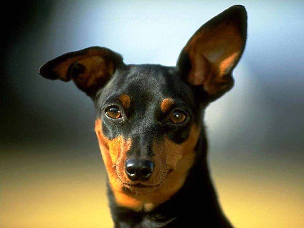 Miniature Pinscher Wallpapers 1024x768