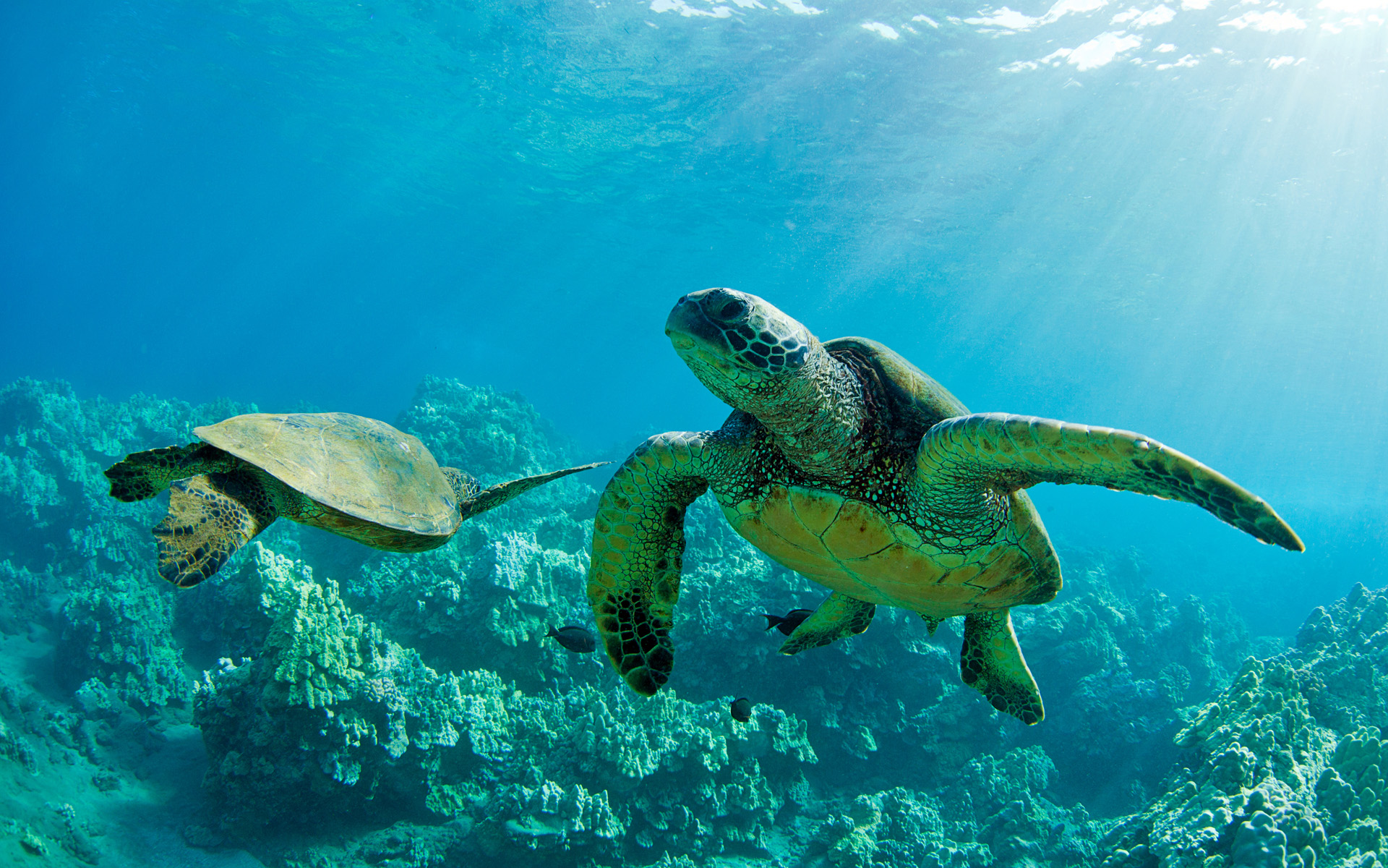 Sea Turtles together underwater over coral reef Maui HQ Wallpapers 1920x1200