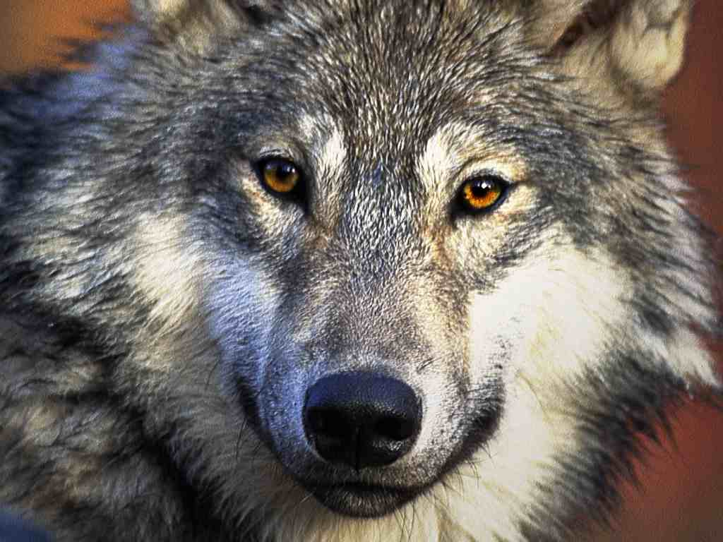 Top Wallpapers Wolf Wallpapers 1024x768