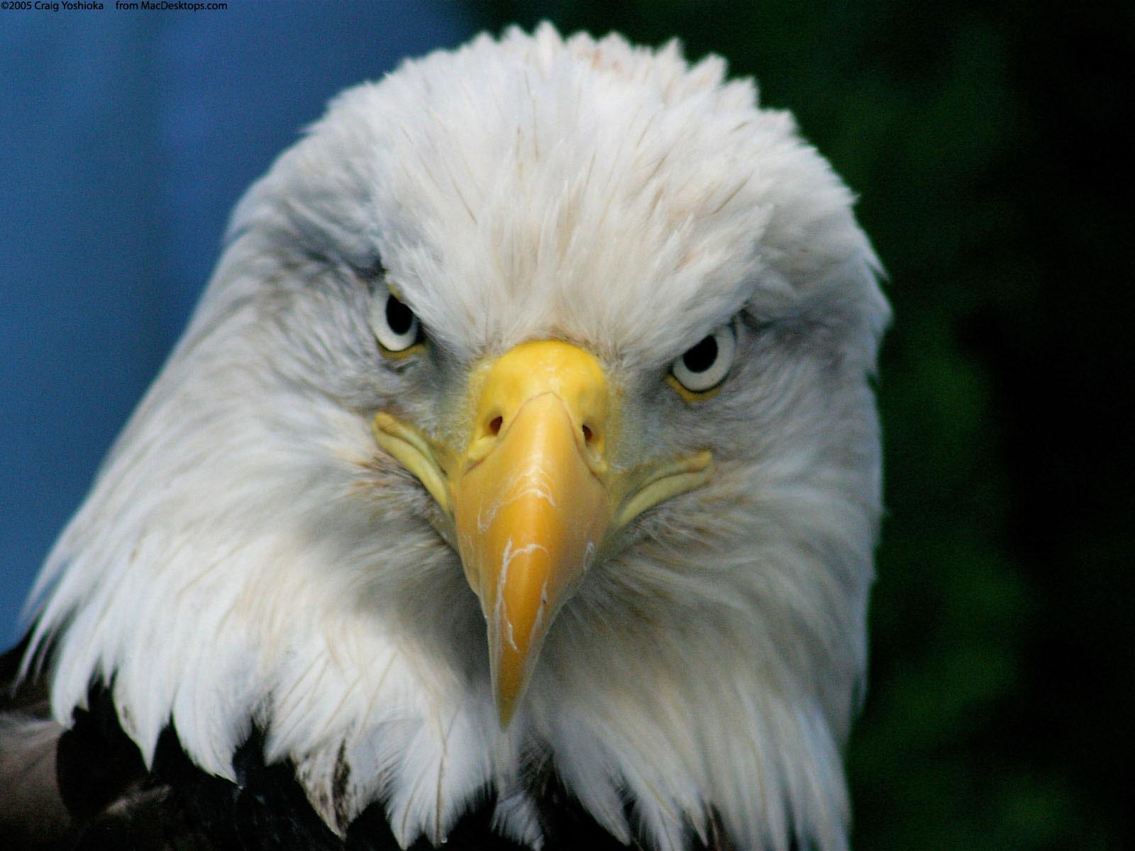American Bald Eagle Wallpaper Apps Directories 1600x1200