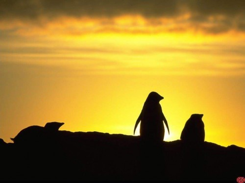Penguin Sunset Screensaver Screensavers   Download Penguin Sunset 500x375