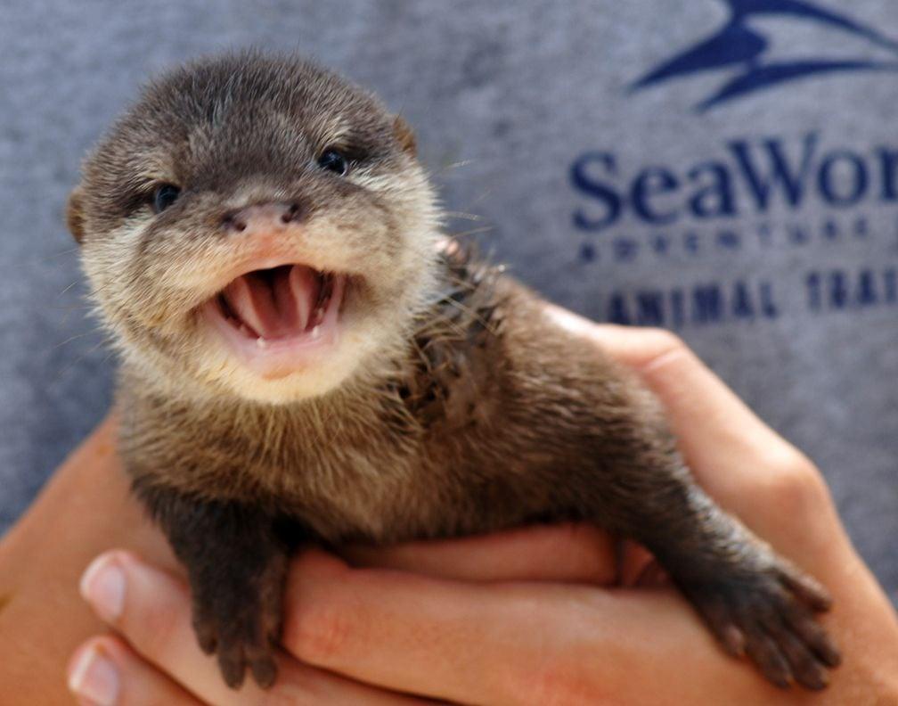 otter baby animal baby otter sea world 237608 1008x792