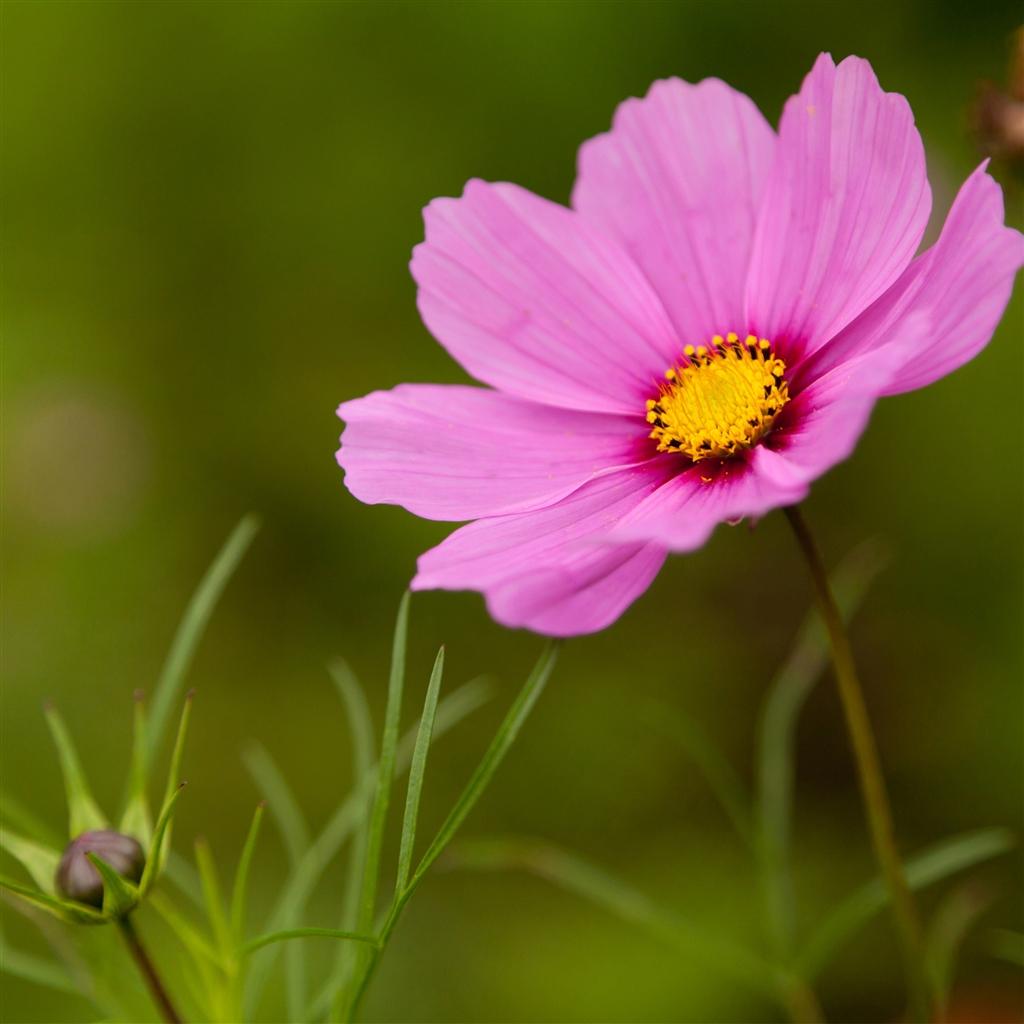 Pink Flowers Wallpaper: Cosmos Flower Wallpaper