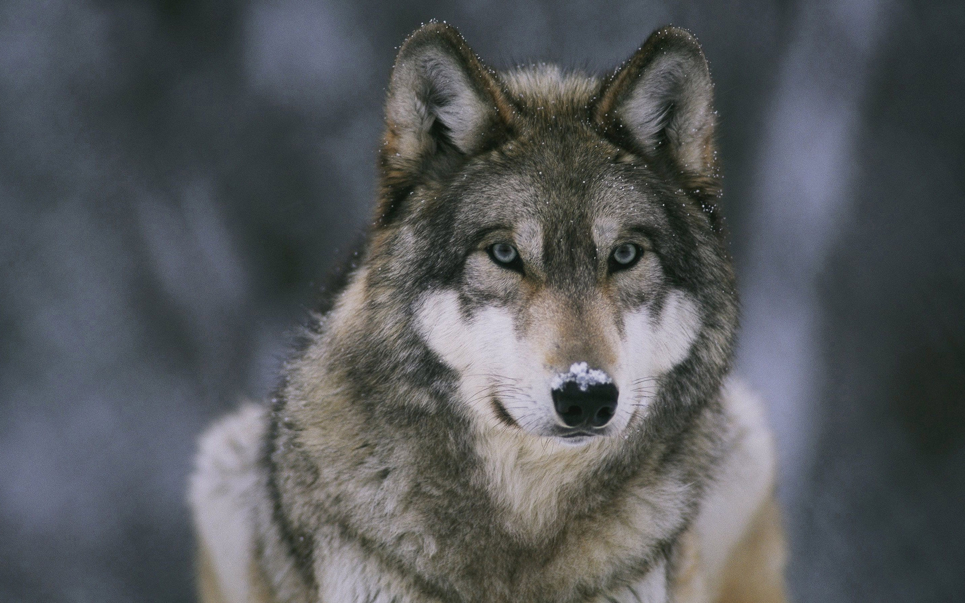 File Name 920032 18 Best HD Wolf Wallpapers feelgrPH 1920x1200