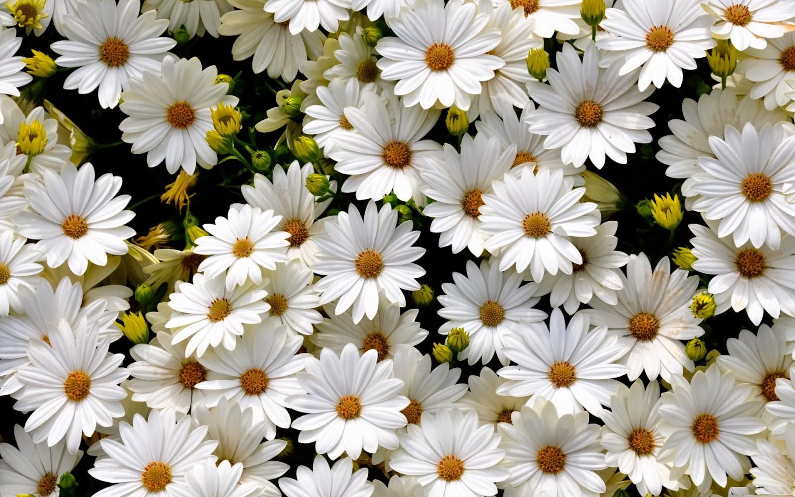 many white daisy flowers arrangement jpg pure white daisy flower 1600x1000