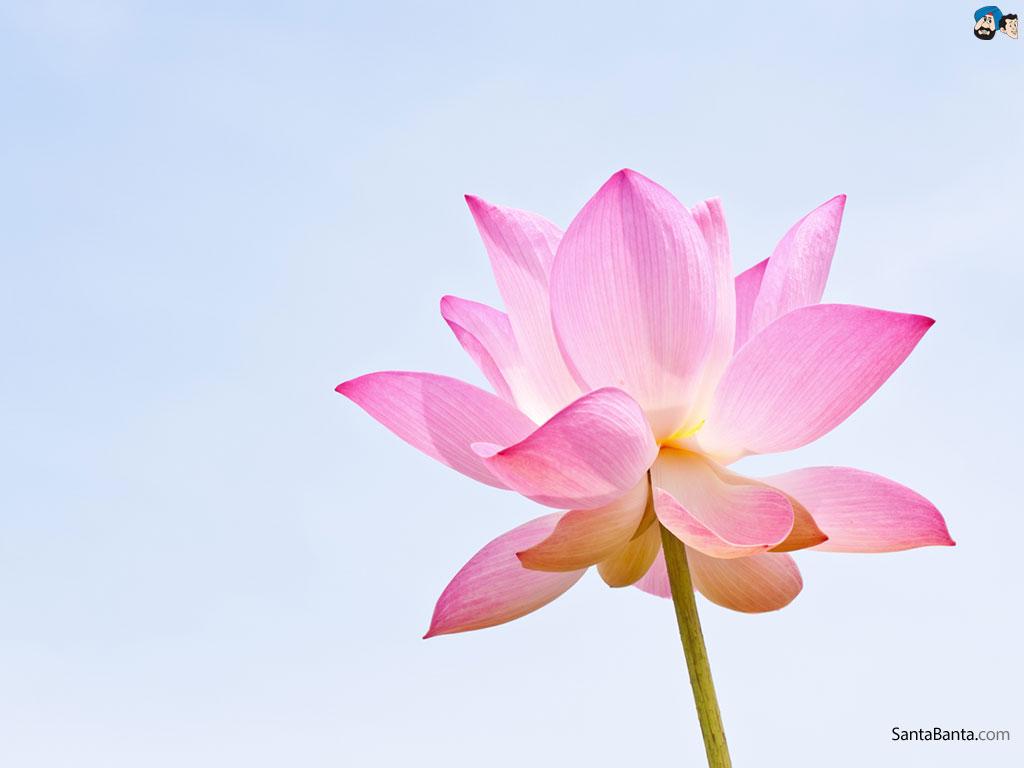 Lotus Wallpaper HD WallpaperSafari