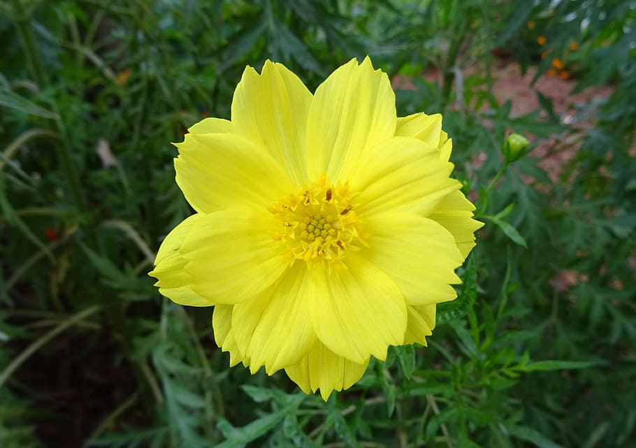 HD wallpaper Flower Cosmos Sulphureus sulfur cosmos yellow 910x641