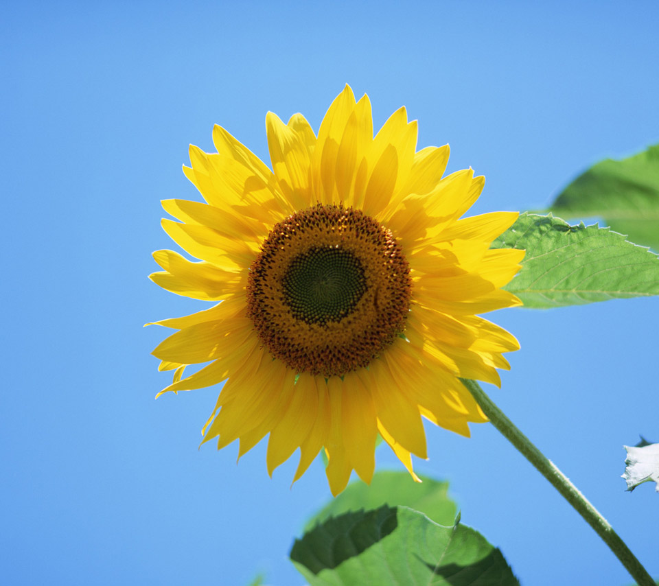 Van Gogh Wallpaper: Van Gogh Sunflowers Wallpaper
