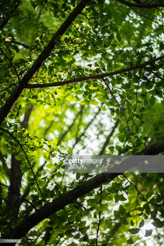Ginkgo Leaves Background Stock Photo   Getty Images 682x1024