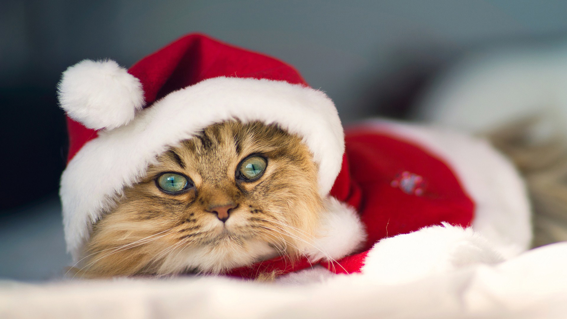 Christmas Cat   Download Cute Christmas Cat HD Wallpapers for 1136x640