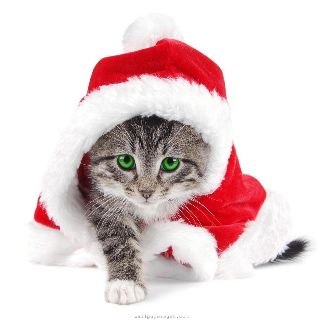 Download Christmas Pets iPad Wallpapers   Christmas Cats 1024x1024