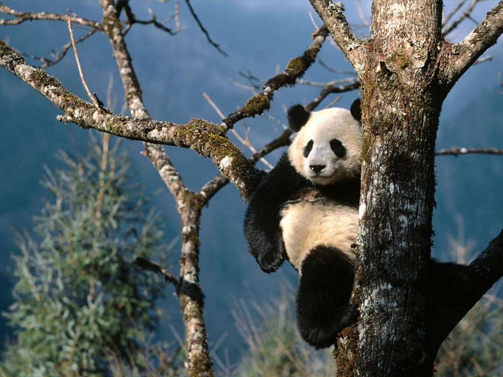 Free Download Panda Hd Wallpapers 1024x768 For Your