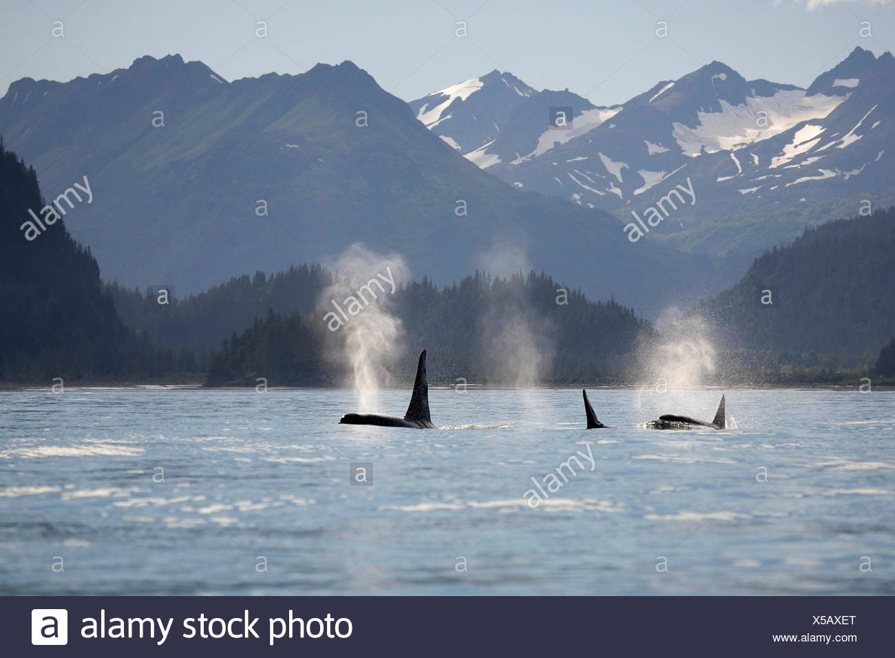 Orca Whales Surface On Kachemak Bay Homer With Kenai Mountains In 1300x956
