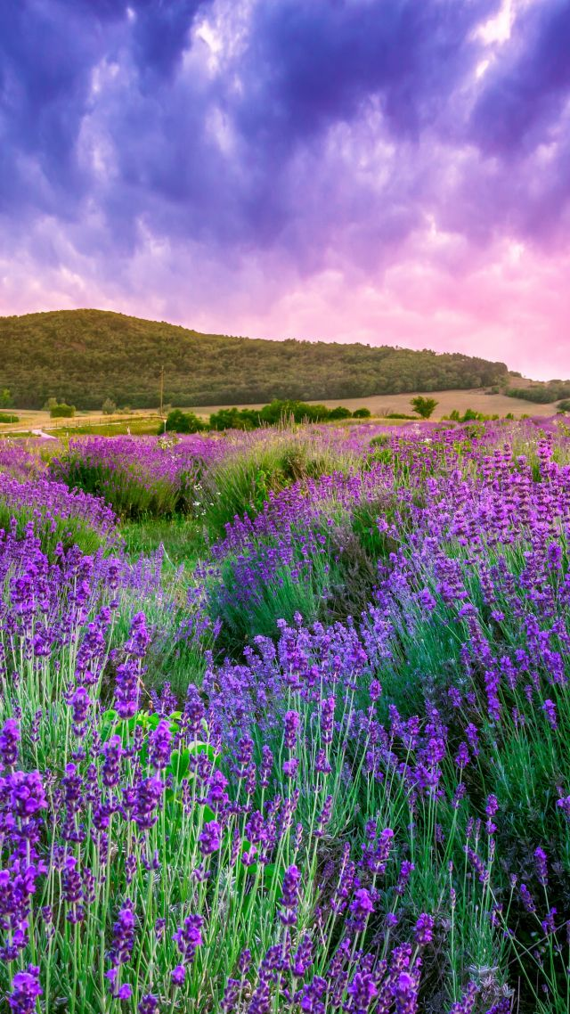 Wallpaper lavender field sky mountain Provence France Europe 640x1138