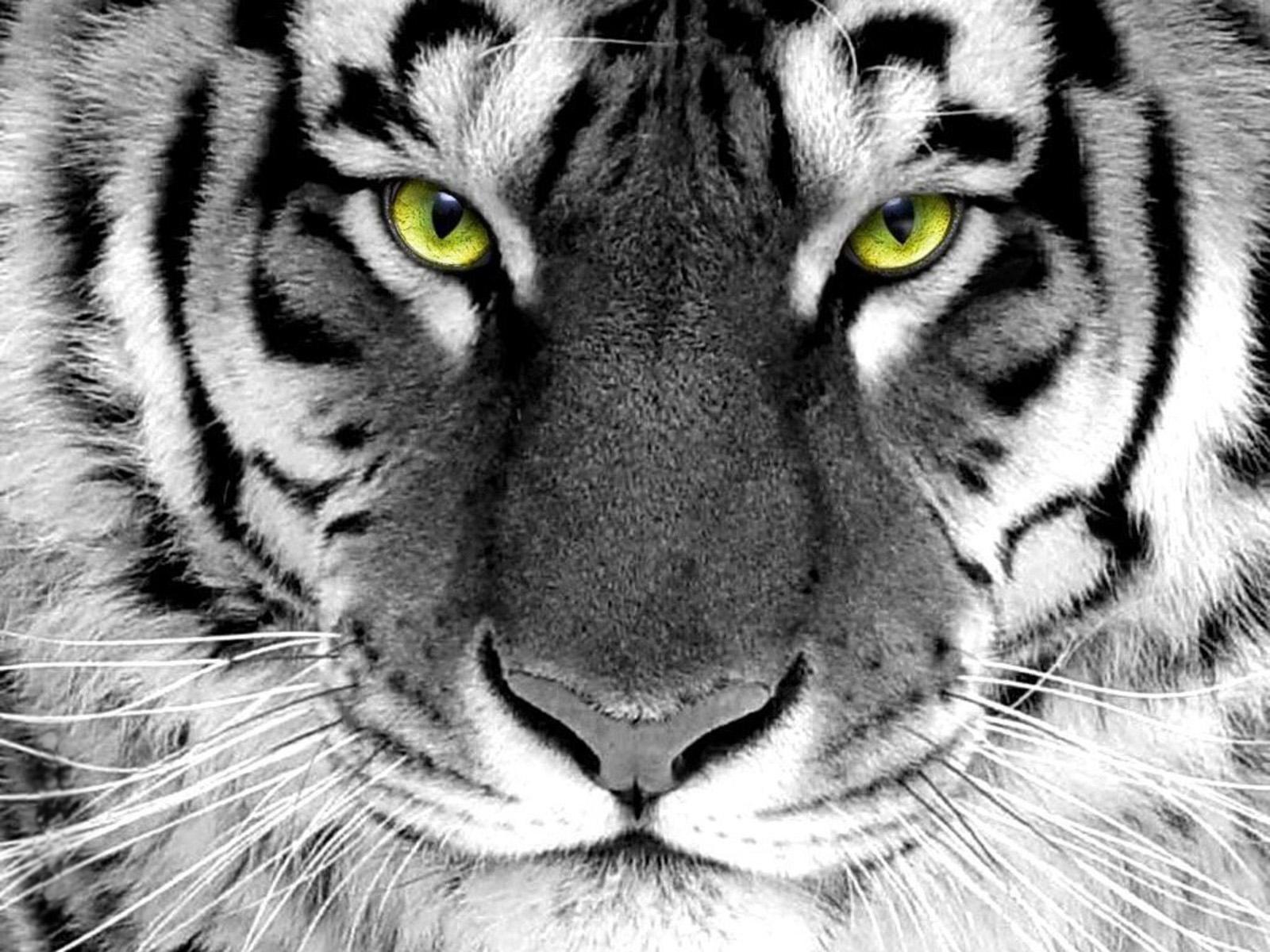 Download White Tiger HD Wallpaper 2048 Full Size 1600x1200