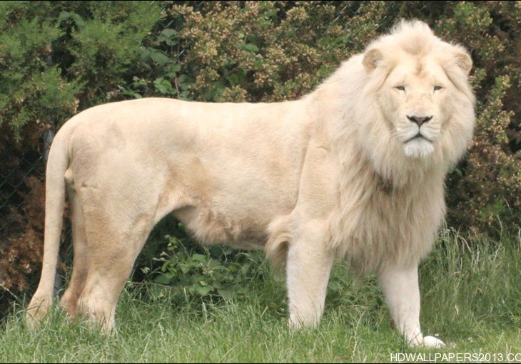 white lion wallpapers hd wallpapers white lion wallpapers hd 730x511