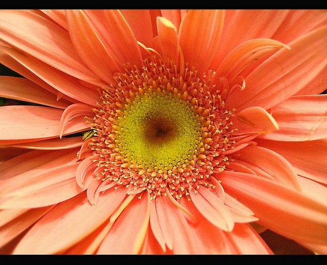 Gerber daisy wallpaper wallpapersafari - Gerber daisy wallpaper ...