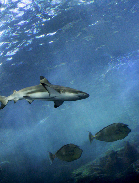 Reef Shark Wallpaper for Amazon Kindle Fire HD 7 450x590