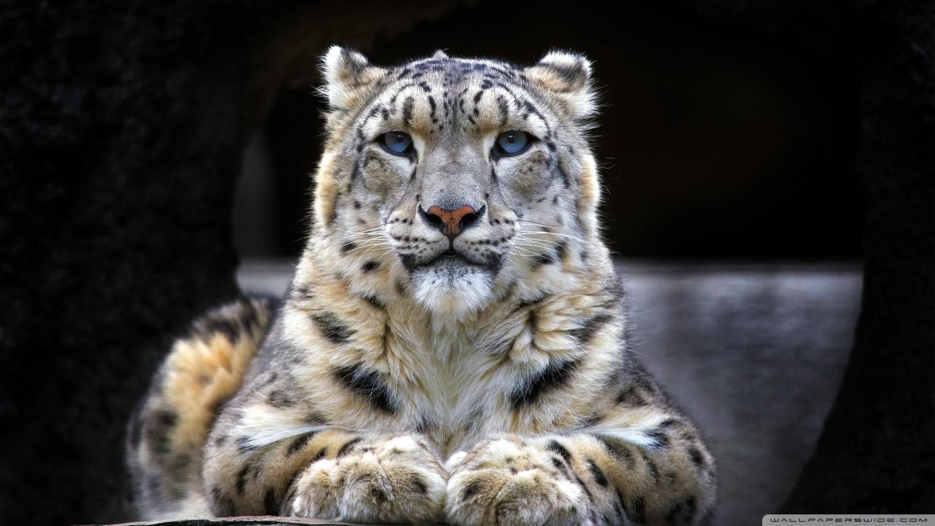 Snow Leopard Sitting On A Rock Wallpaper 1920x1080 Snow Leopard 1920x1080