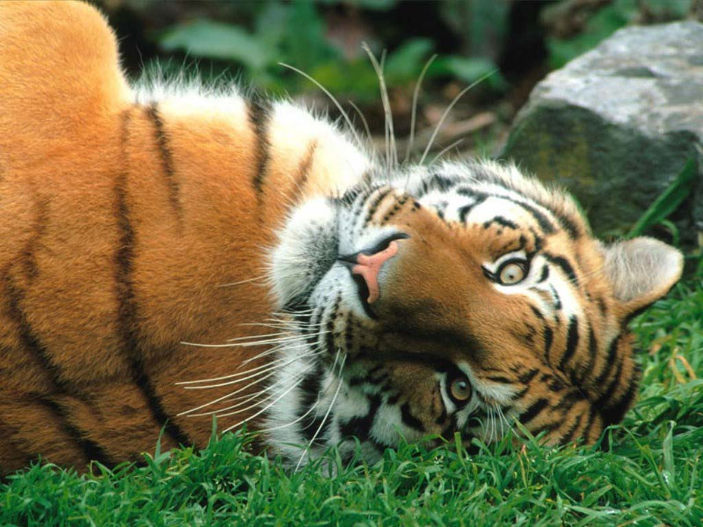 Funny wallpapersHD wallpapers cute tiger pictures 1024x768