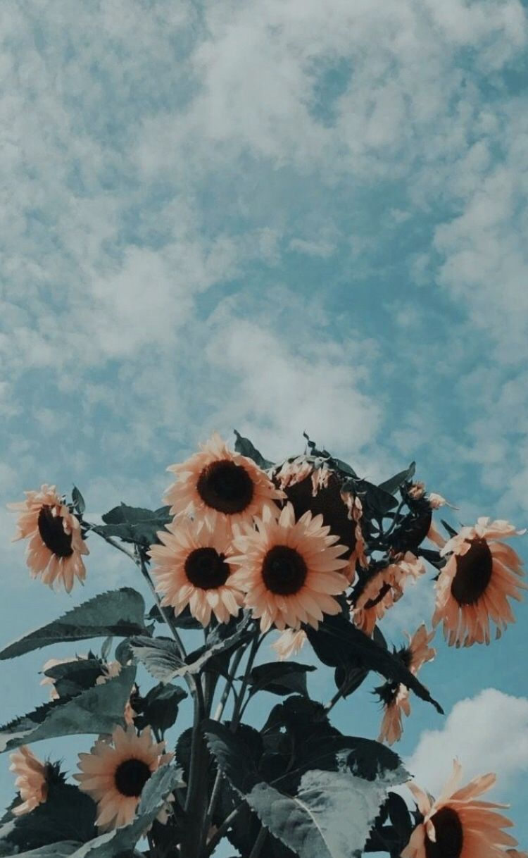 sunflowers iphone phone background aesthetic filters wallpapers 750x1218