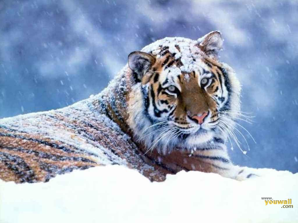 Winter Tiger Wallpaper 19619   Baltana 1024x768