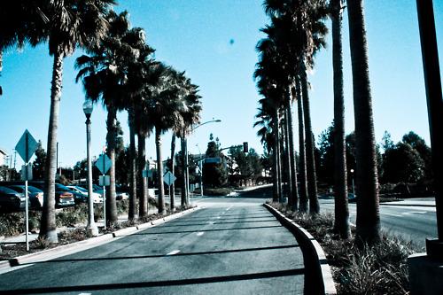 palm trees california trees california palm trees leaves 500x333