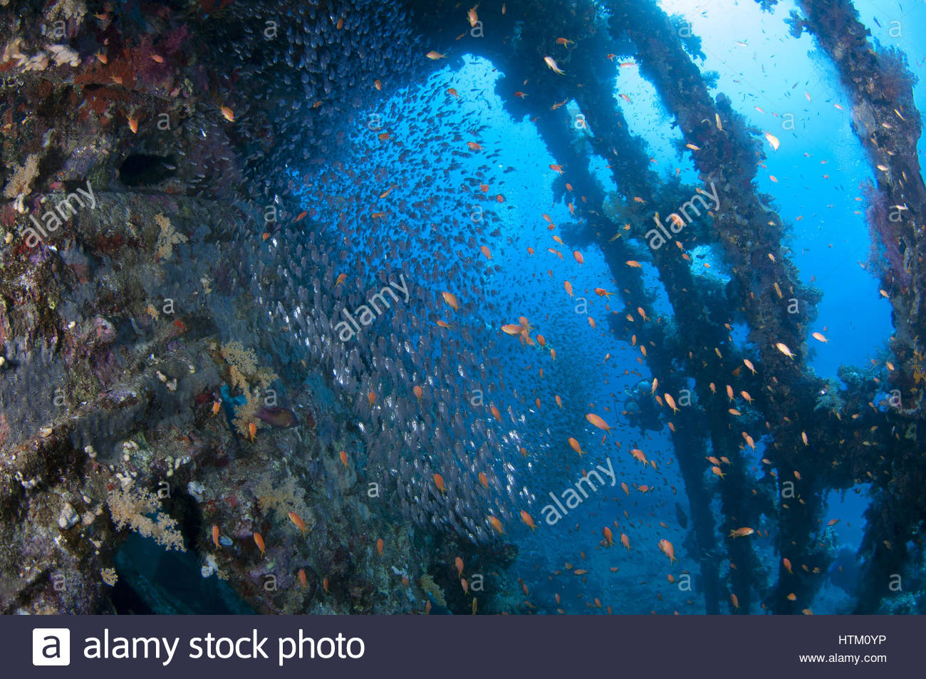 large school of fish Pigmy Sweepers Parapriacanthus ransonneti 1300x953