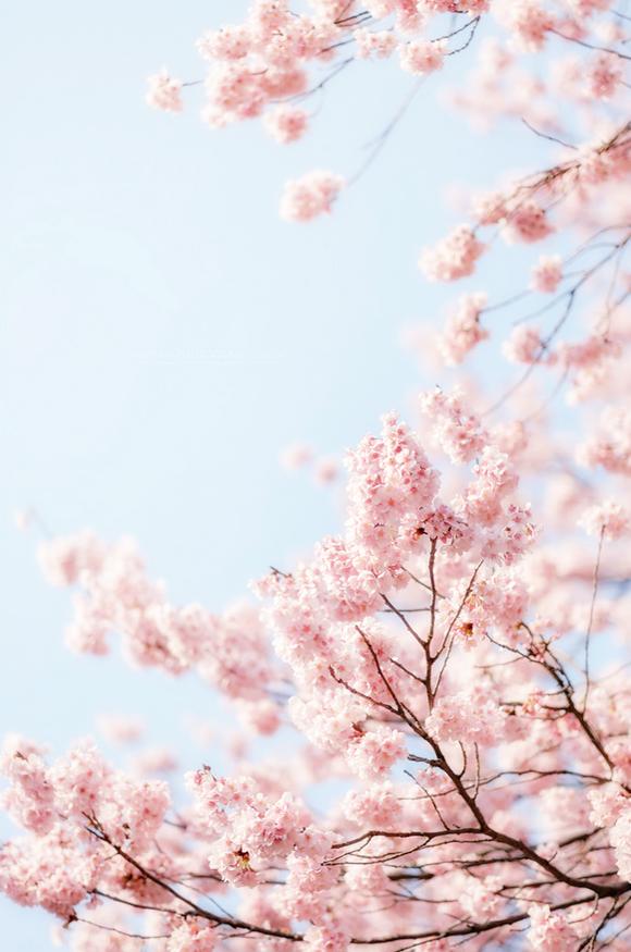by sn0pan Sakura art Flower aesthetic Flowers photography 580x875