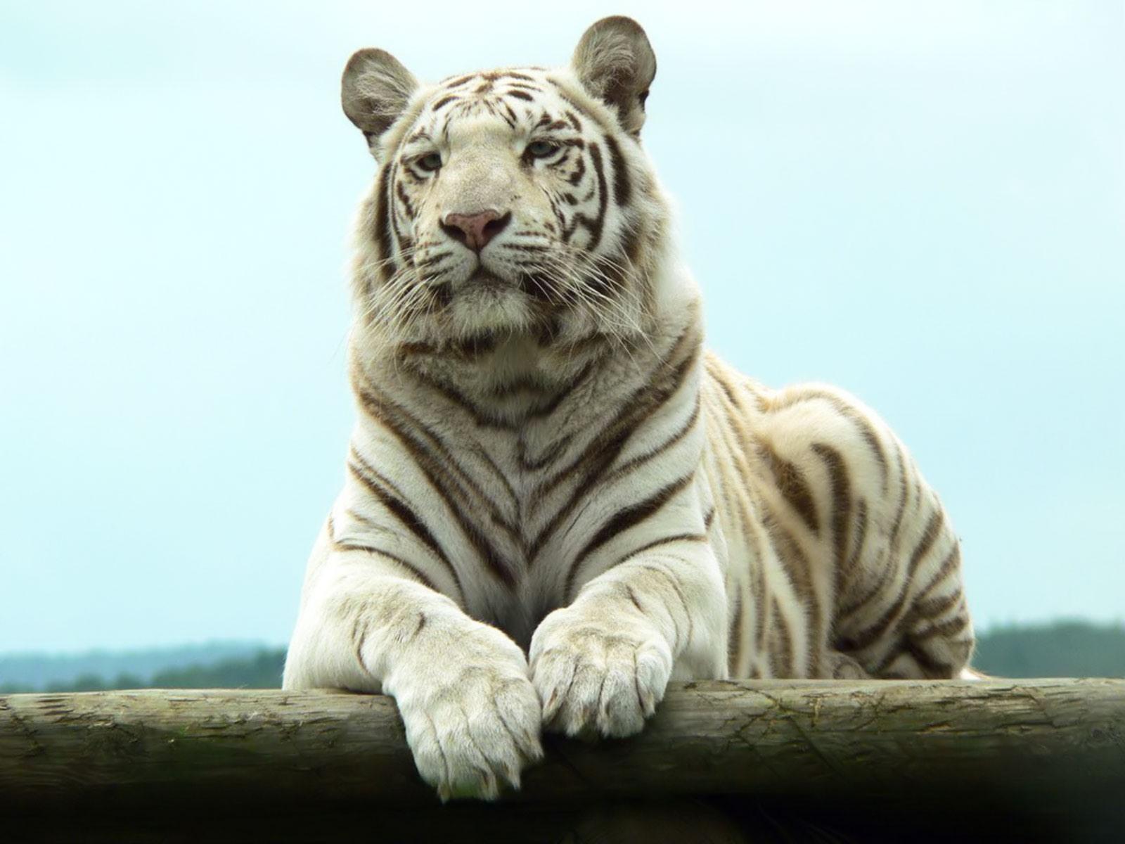 Bengal White Tiger desktop wallpaper 1600x1200