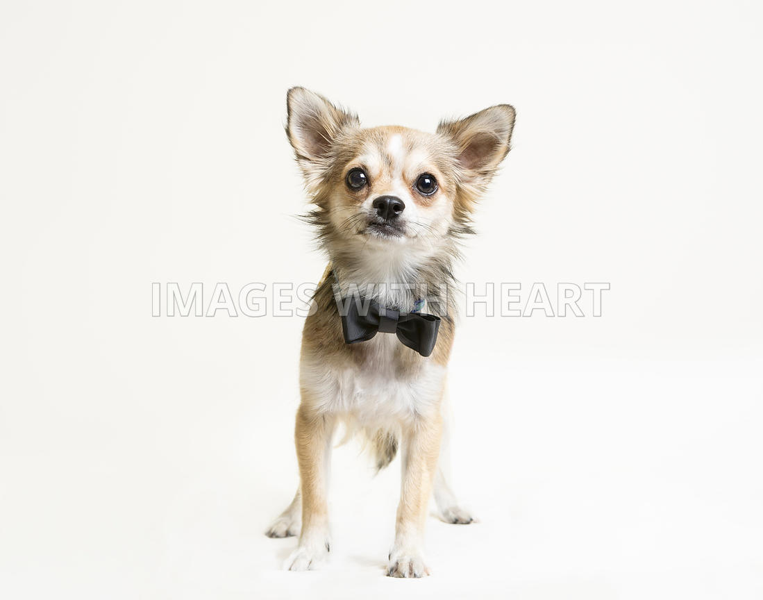 Images with Heart Small Dog Full Body White Background 1099x864