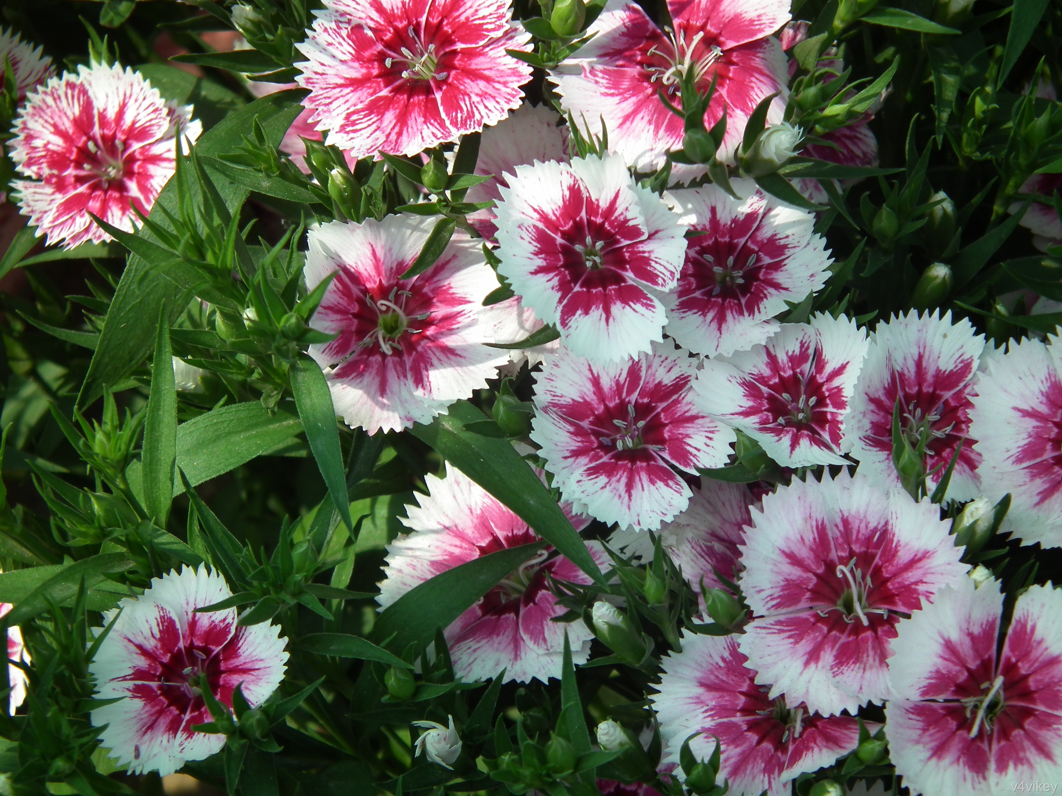 Beautiful Nature Pink White Color Dianthus Flower Images 3648x2736
