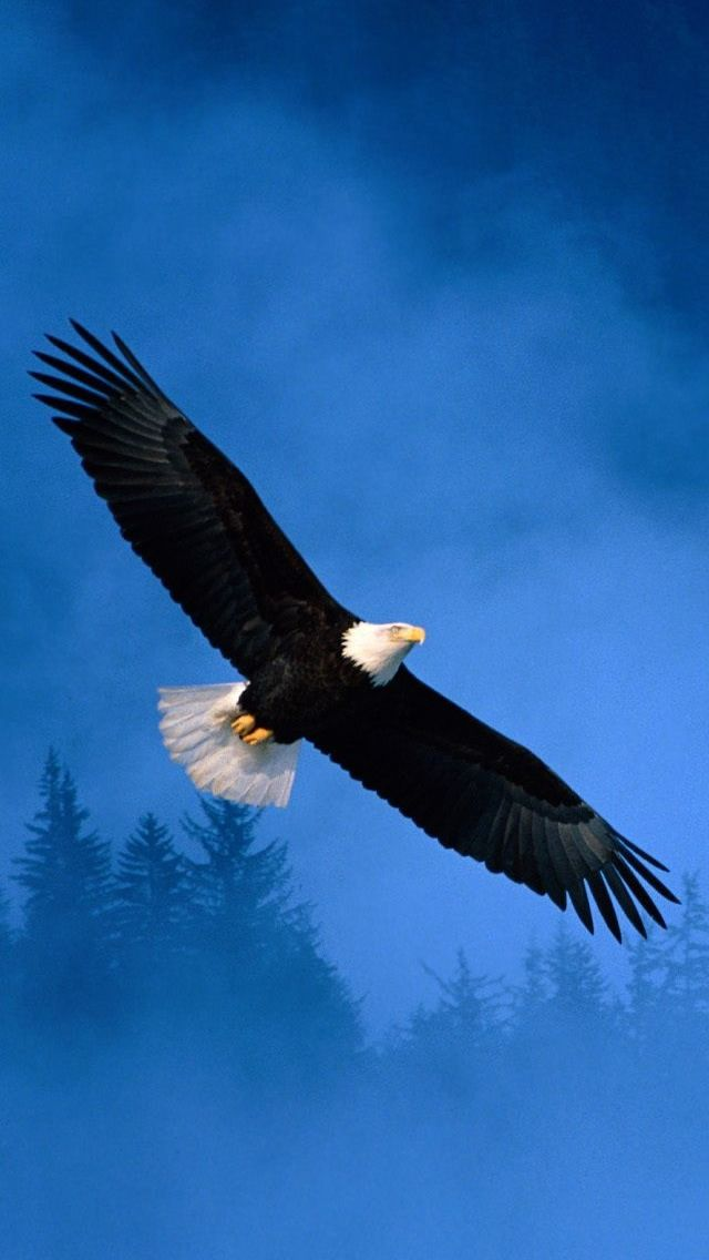 Bald Eagle Wallpaper HD Images One HD Wallpaper Pictures HD 640x1136