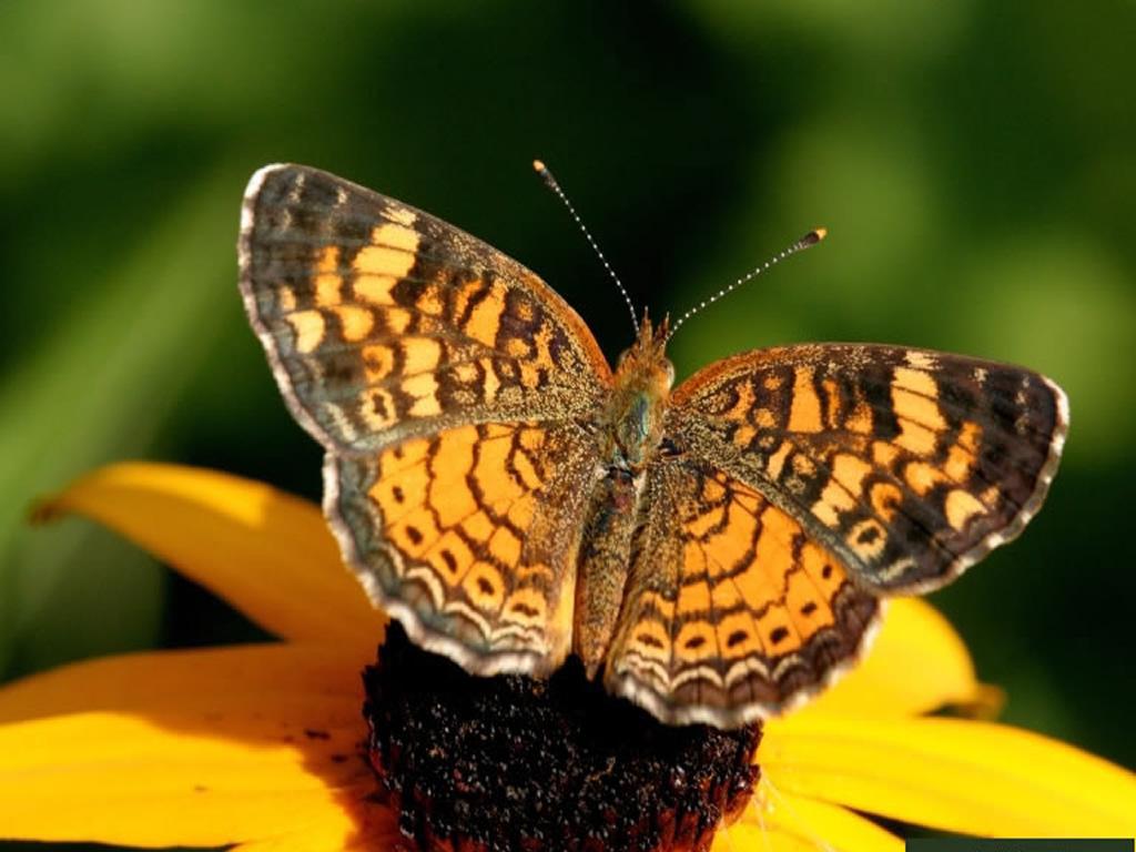 Butterfly Wallpaper 2 size 1 024 x 768 1024x768