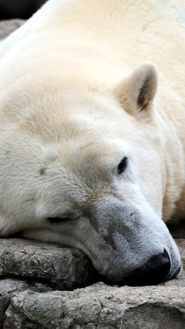 Sleeping Polar Bear Wallpaper   iPhone Wallpapers 640x1136