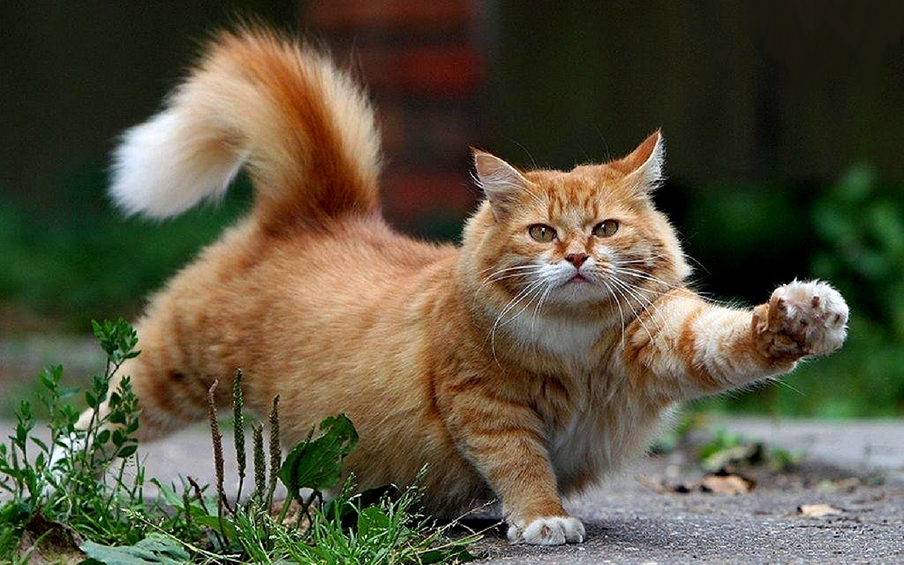 Beautiful Cat   Cats Wallpaper 16096437 1280x800
