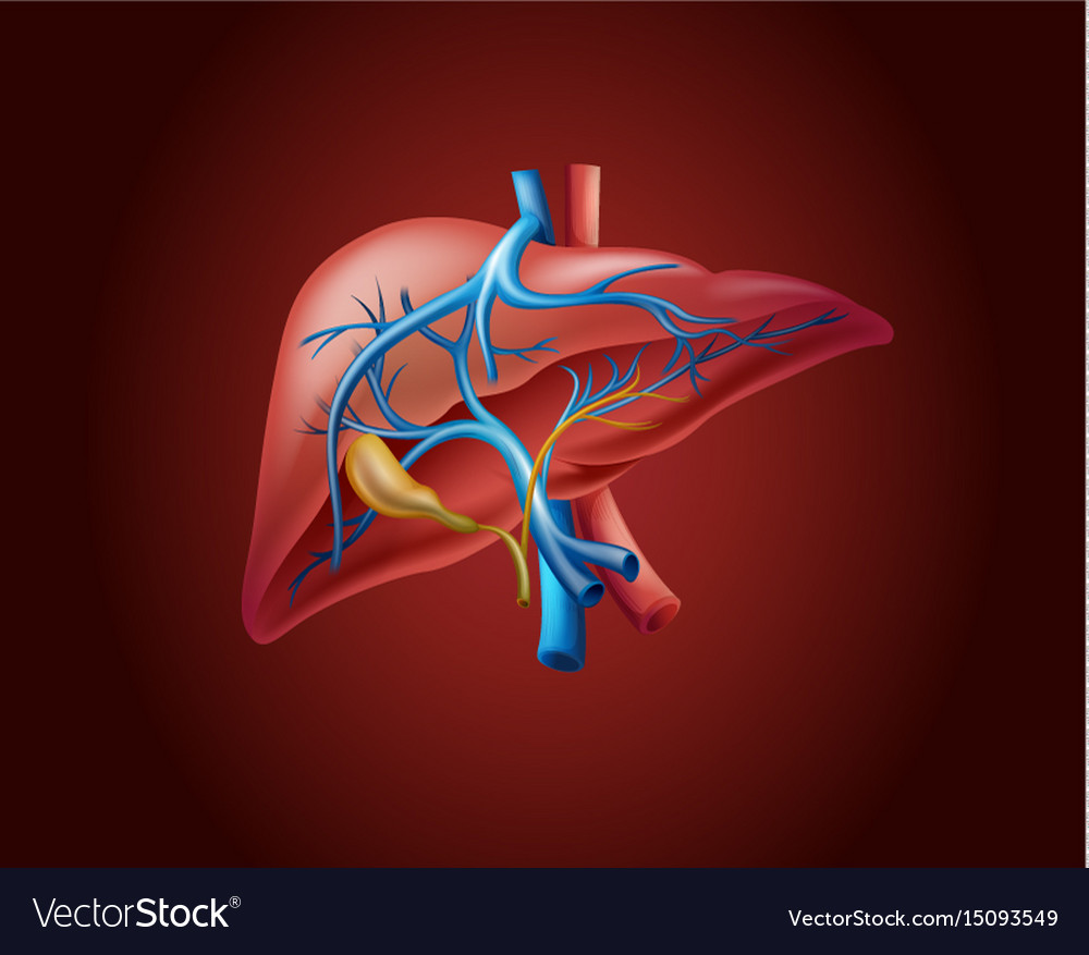 Human liver on red background Royalty Vector Image 1000x877
