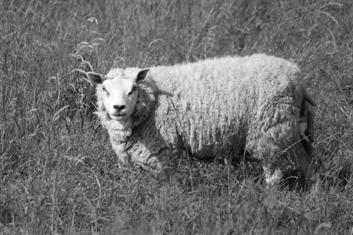 lamb desktop wallpaper wallpapersafari