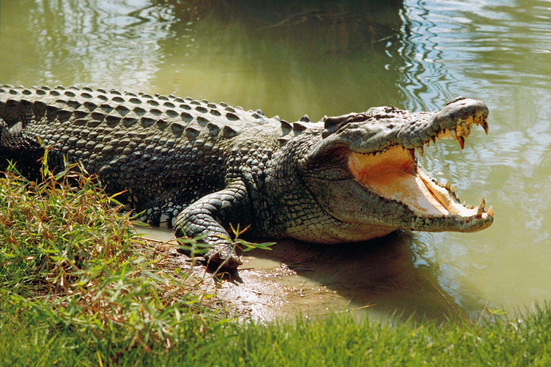 68 Crocodile Wallpaper On Wallpapersafari