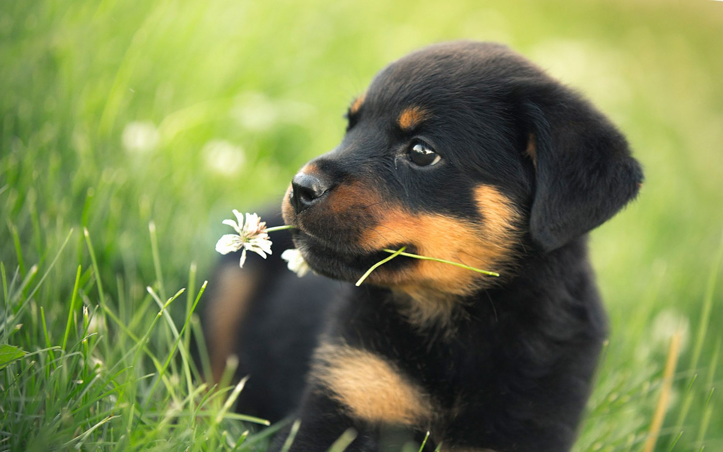 Adorable Puppy Wallpaper Awesome Rottweiler Wall Paper   Cute 1440x900