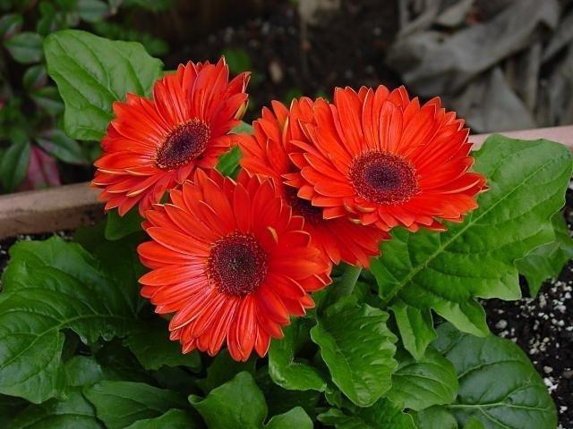 Gerbera daisy Flower 640x480